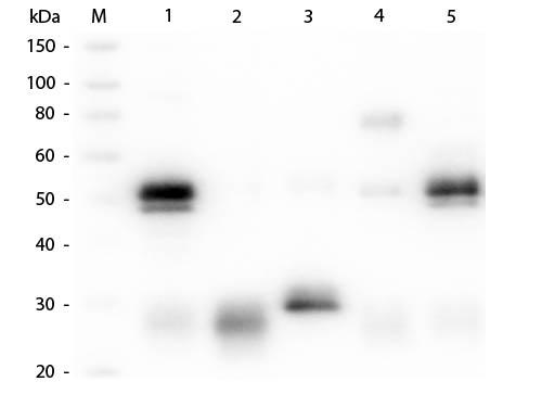Abcepta/Anti-Rabbit IgG (H&L)  (Alkaline Phosphatase Conjugated) Pre-Adsorbed Secondary Antibody/500 µg/ASR1090