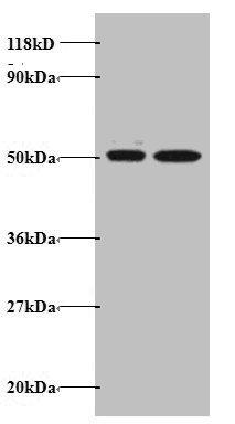 Epigentek/AATF Polyclonal Antibody/A51673-100/100 µg