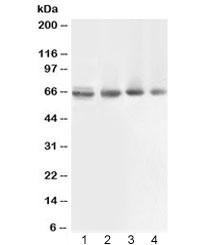 NSJ/ABCB10 Antibody (R32456)/ R32456/ 100 ug