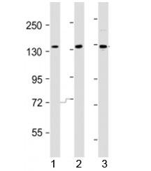 NSJ/AATK Antibody (F43913)/ F43913-0.4ML/ 0.4 ml