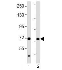 NSJ/AACS Antibody (F53144)/ F53144-0.4ML/ 0.4 ml