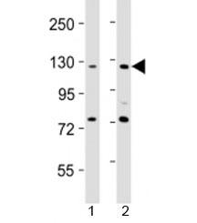 NSJ/AATK Antibody (F53414)/ F53414-0.4ML/ 0.4 ml