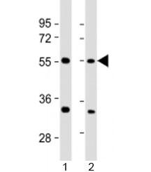 NSJ/AAAS Antibody / Adracalin (F53900)/ F53900-0.2ML/ 0.2 ml