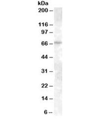 NSJ/ABCE1 Antibody (R34523)/ R34523-100UG/ 100 ug