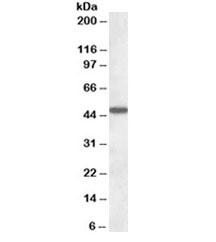 NSJ/AADAT Antibody (R34561)/ R34561-100UG/ 100 ug