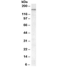 NSJ/ABCA9 Antibody (R35449)/ R35449-100UG/ 100 ug