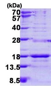 Usbio/SNRPD3, Recombinant, Human, aa1-126, His-Tag (Small Nuclear Ribonucleoprotein Sm D3, Sm-D3, snRNP Core Protein D3)/50ug/029700