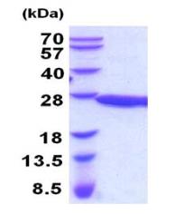 Usbio/Pebp1, Recombinant, Mouse, aa1-187, His-Tag |(Phosphatidylethanolamine-binding protein 1, HCNP, Pbp, Pbp1, Pbqr, Rkip)/100ug/351420