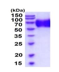 Usbio/369109  Anti-OMG, Recombinant, Human, aa25-418, His-Tag (Oligodendrocyte-Myelin Glycoprotein, OMGP)/50ug/369109