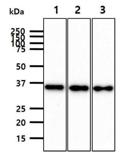 Usbio/470243 Mouse Anti-JAM2 (Junctional Adhesion Molecule, CD322)/470243/50ul