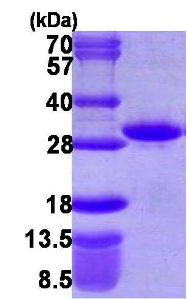 Usbio/RND1, Recombinant, Human, aa1-200, His-Tag (Rho-related GTP-binding Protein Rho6, Rho Family GTPase 1, Rnd1, RHO6)/100ug/R1998-06F