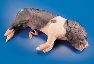 Wards Science/Formaldehyde-Free Fetal Pigs/1kit/470000-442