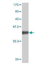 Biosensis/Mouse monoclonal antibody to human Neuropilin-1 [1B3]: IgG/M-878-100/100 µg