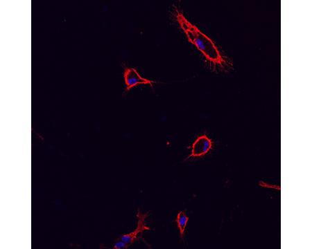 Biosensis/Mouse monoclonal antibody to CD11b/c; Mac-1 [OX42;OX-42]:IgG/M-1325-100/100 µg
