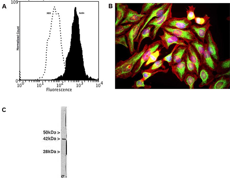 Biosensis/Mouse monoclonal antibody to Actin: IgG/M-1646-100/1 Ea