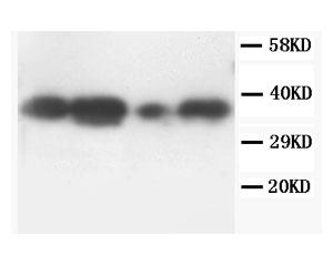 Biosensis/Rabbit polyclonal antibody to Tumor necrosis factor, alpha-induced protein 1, endothelial (27-52): Affinity purifie