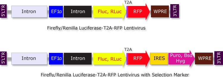 Biosettia/Renilla Luciferase (RLuc)-T2A-RFP-IRES-Bsd Lentivirus/Nucleic Acid Purification/GlowCell-21b