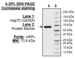 Bpsbioscience/HSP70 (Q435A), His-tag/50288/100 µg