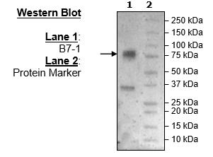 Bpsbioscience/B7-1 (CD80) (Mouse), Fc fusion (Human), Avi-Tag/79058/100 μg
