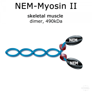 hypermol/NEM-Myosin II (rabbit, m. psoas) - 1x200 µg/8316-01