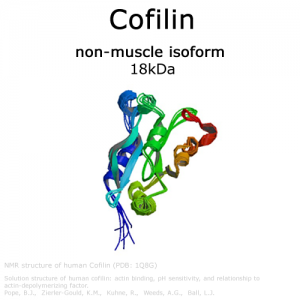 hypermol/Cofilin (non-muscle cofilin) - 1.0mg/8419-02