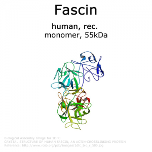 hypermol/Fascin (human, recombinant) - 1.0 mg/8411-03