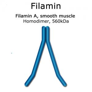 hypermol/Filamin (smooth muscle, turkey) - 2x100 µg/8312-01