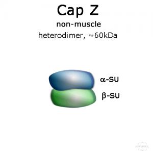 hypermol/CapZ (non-muscle, human recombinant) - 2x50 µg/8322-01