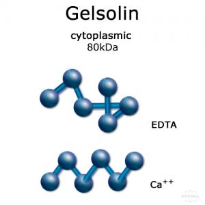 hypermol/Gelsolin (cytoplasmic) - 2x50 µg/8304-01