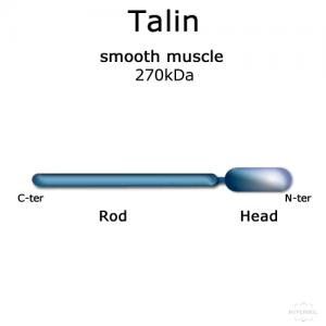 hypermol/Talin (smooth muscle, turkey) - 100µg/8314-01