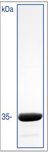 hypermol/GST-VCA (human recombinant WAVE VCA-domain, GST-tagged) - 250µg/8416-01