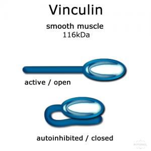 hypermol/Vinculin (smooth muscle, turkey) - 100 µg/8307-01