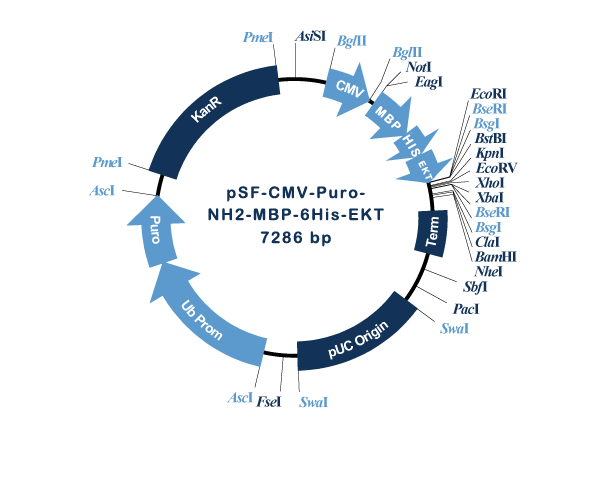 Oxford Genetics/pSF-CMV-Puro-NH2-MBP-6His-EKT (OG1173) N-terminal MBP and 6 His dual tag mammalian plasmid/OG1173/1 Ea