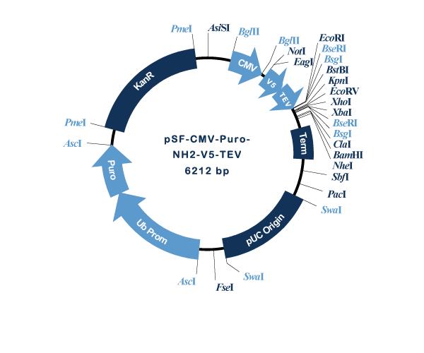 Oxford Genetics/pSF-CMV-Puro-NH2-V5-TEV (OG3194) N-terminal V5 tag mammalian plasmid/OG3194/1 Ea