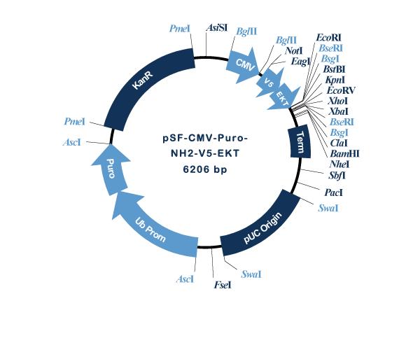 Oxford Genetics/pSF-CMV-Puro-NH2-V5-EKT (OG3202) N-terminal V5 tag mammalian plasmid/OG3202/1 Ea