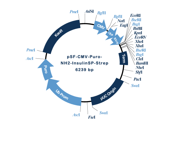 Oxford Genetics/pSF-CMV-Puro-NH2-InsulinSP-Strep (OG1434) Insulin secretion and Strep tag plasmid/OG1434/1 Ea