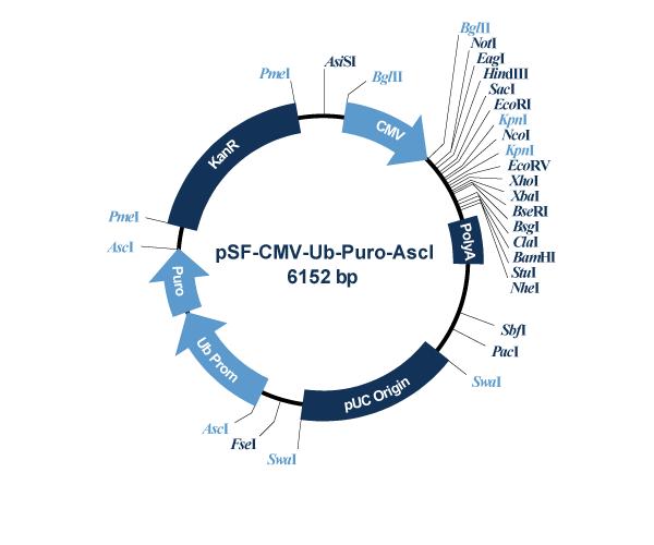 Oxford Genetics/pSF-CMV-Ub-Puro_AscI (OG21) Puromycin Selection Plasmid/OG21/1 Ea