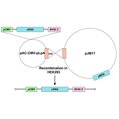 Seven Hills Bioreagent/Ad5-CMV-CIB1 (calmyrin) - human/JMAd-107/0.5 ml