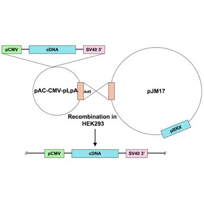 Seven Hills Bioreagent/Ad5-CMV-GATA4 wild type/JMAd-19/0.5 ml