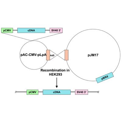 Seven Hills Bioreagent/Ad5-CMV-GATA4 anti-sense/JMAd-20/0.5 ml