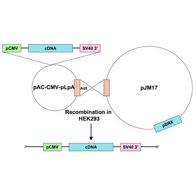 Seven Hills Bioreagent/Ad5-CMV-JNK1-mutant estrogen receptor fusion/JMAd-53/0.5 ml