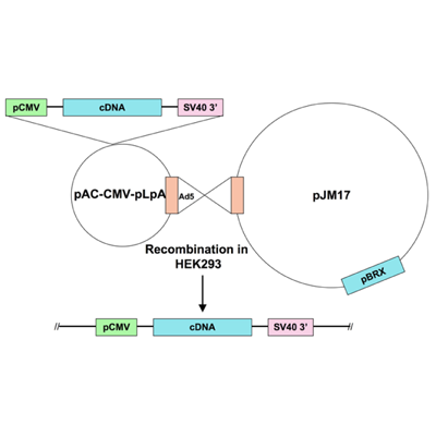 Seven Hills Bioreagent/Ad5-CMV-ERK2 DN (AEF mutation)/JMAd-57/0.5 ml