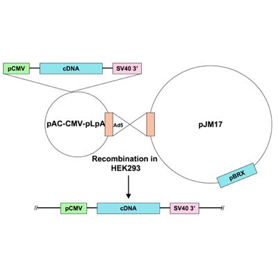 Seven Hills Bioreagent/Ad5-CMV-VDAC3/JMAd-80/0.5 ml